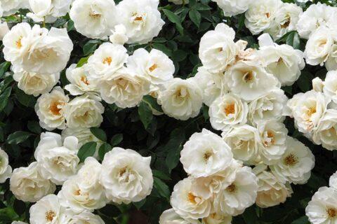 """Доставка на цветя с видове рози – снежно бялата """"АЙСБЕРГ"""" (ICEBERG)"""